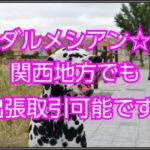 ダルメシアンのブリーダー☆関西地方でも出張取引可能です!!