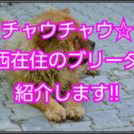 チャウチャウのブリーダー☆関西在住の優良ブリーダーの紹介