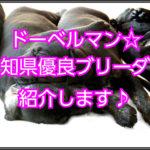ドーベルマンの優良なブリーダー☆愛知県内で見つけました!!