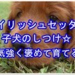 アイリッシュセッター子犬のしつけ☆根気強く褒めて育てる!!