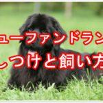 超大型犬ニューファンドランド『しつけと飼い方』教えます♪