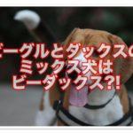ビーグルとダックスフンドのミックス犬☆ビーダックスって?!