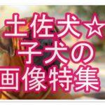 土佐犬の子犬の画像特集☆土佐犬のかわいい子犬にくぎ付け!!