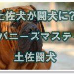 土佐犬が闘犬に!!ジャパニーズマスティフ土佐闘犬について☆