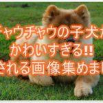 チャウチャウの子犬がかわいすぎる!!癒される画像集めました
