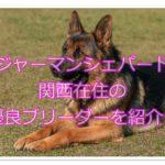ジャーマンシェパードドッグ☆関西の優良ブリーダーをご紹介