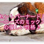 セントバーナードとバーニーズのミックス犬!!心優しい性格♪