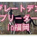 世界一おおきな犬!!グレートデンのブリーダーを福岡で発見☆