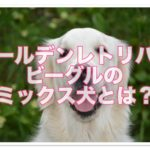 ゴールデンレトリバーとビーグル☆のミックス犬はどんな犬!?