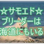 大型犬のサモエド☆ブリーダーは北海道にいるのか?!大調査!!