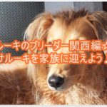 サルーキのブリーダー関西編☆★サルーキを家族に迎えよう♪