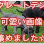 世界一大きな犬グレートデンの可愛い子犬の画像集めました☆
