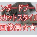 スタンダードプードルのカットスタイルの画像&動画18選☆★