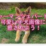 ジャーマンシェパードの子犬画像!そのかわいさに癒されよう!