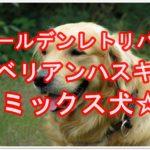 ゴールデンレトリバーとシベリアンハスキーのミックス犬て??