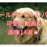 ゴールデンレトリバーの可愛い動画&画像14選!厳選しました☆