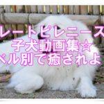 グレートピレニーズの子犬動画集☆レベル別で癒されよう☆!!