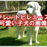 ★グレートピレニーズ★可愛い♪子犬の画像をご紹介します!!