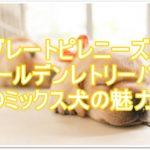 グレートピレニーズとゴールデンレトリバーのミックス犬☆★