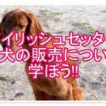 アイリッシュセッターに会おう!!子犬の販売について学ぼう♪