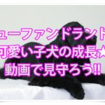 ニューファンドランドの可愛い子犬の成長★動画で見守ろう!!
