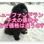 ニューファンドランドの子犬の価格!なぜ価格に違いがあるの?
