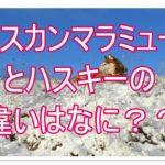 アラスカンマラミュートとハスキーの違いって??画像もあり☆