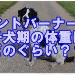 セントバーナード子犬期の適正体重はどれぐらいなのか大調査