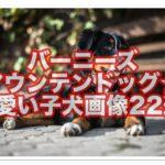 バーニーズマウンテンドッグ☆可愛い子犬の画像22選一挙公開