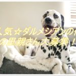 大人気☆ダルメシアンの仔犬を家族に迎えよう!里親さん募集!