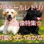 ラブラドールレトリバーの子犬画像特集☆可愛い子いるかな?!