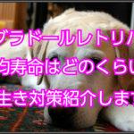 ラブラドールレトリバーの平均寿命☆長生き対策紹介します!!