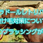 ラブラドールレトリバーの抜け毛対策☆基本はブラッシング!!