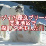 ボルゾイの優良ブリーダー☆を関東地区で探してきましたよ!!