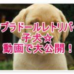 ラブラドールレトリバーの子犬☆動画で大公開!人気の秘訣は?