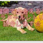 大人気のラブラドールレトリバーの子犬が、福岡県にもいる!!