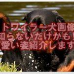 ロットワイラー犬画像集!!知らないだけかも!?可愛い姿紹介します!!