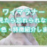 ワイマラナー1度見たら忘れられない!!目の色・特徴紹介します!!