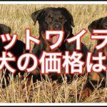 ロットワイラーの子犬の販売価格は??その値段を紹介します!!