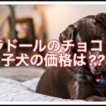 ラブラドールレトリーバーのチョコレート色☆子犬の価格は??