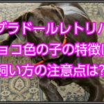 ラブラドールレトリバーのチョコ色!性格と飼い方の注意点は?