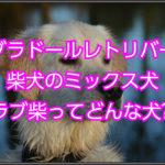 ラブラドールレトリバーと柴犬のミックス犬!ラブ柴について!