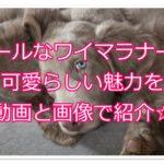 ワイマラナーの可愛さを紹介!!子犬の動画と画像で徹底解説!!