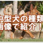 中型犬の種類を画像で紹介!!人気の犬から珍しい犬まで20種類☆